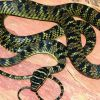 Surprise visitor: Flying snake found in Hyderabad