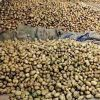 Demand for Ooty potato soars as export to Sri Lanka picks up