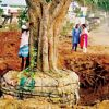 Translocated trees die, BMRCL, BBMP blamed