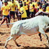 AWBI to take pro-jallikattu fighters by horn
