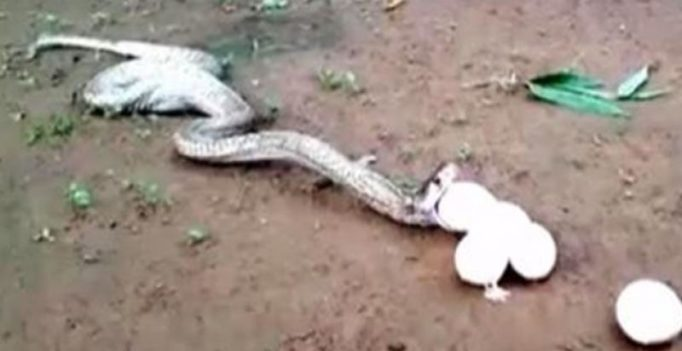 Video: Cobra throws up six eggs after swallowing seven
