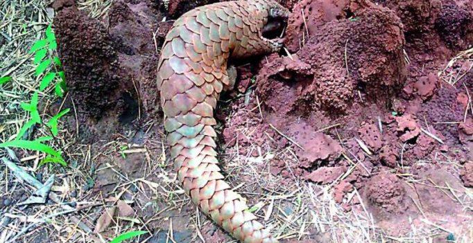3 Pangolin poachers nabbed in Hyderabad