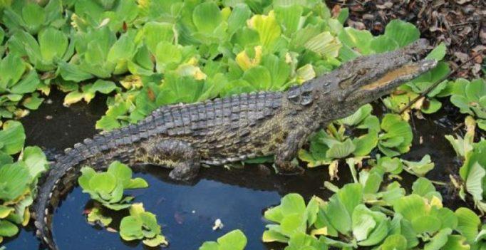 Woman fails to save friend in Australian crocodile attack