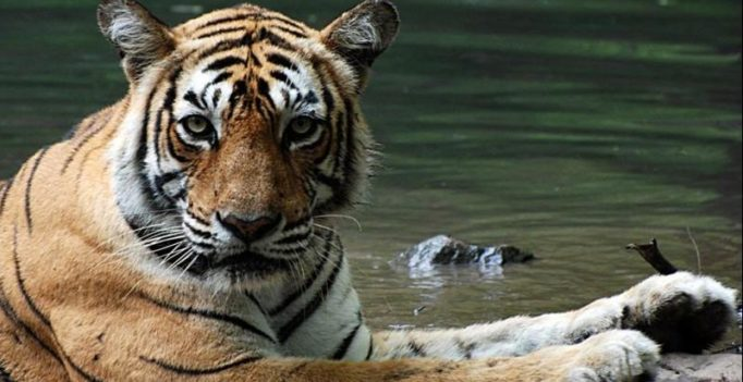 World's most photographed tiger 'Machli' dies at 19 in Ranthambore