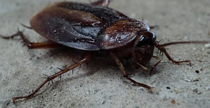 Cockroach 'milk' may soon be available as a health food supplement