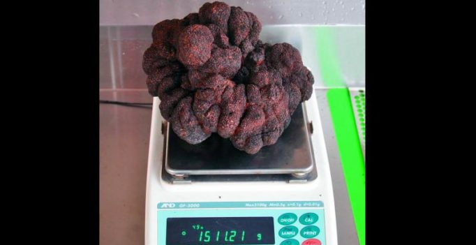 Giant truffle found in Oz could set new record