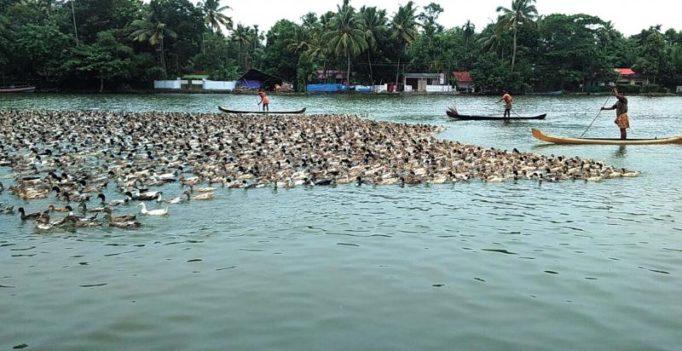 Duck farmers eye 10 per cent hike in Onam business