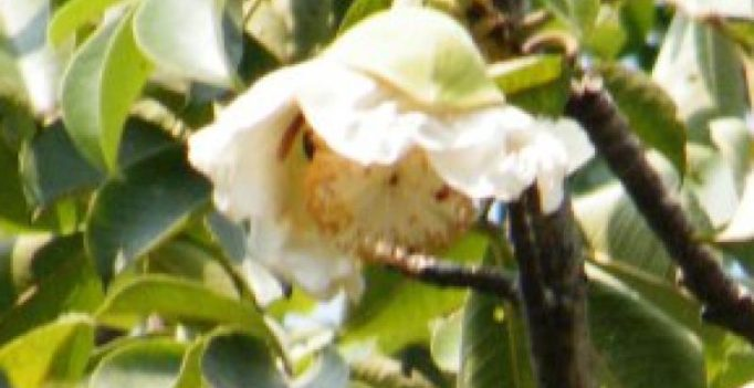 Uttar Pradesh: Magical Parijat tree gets new life