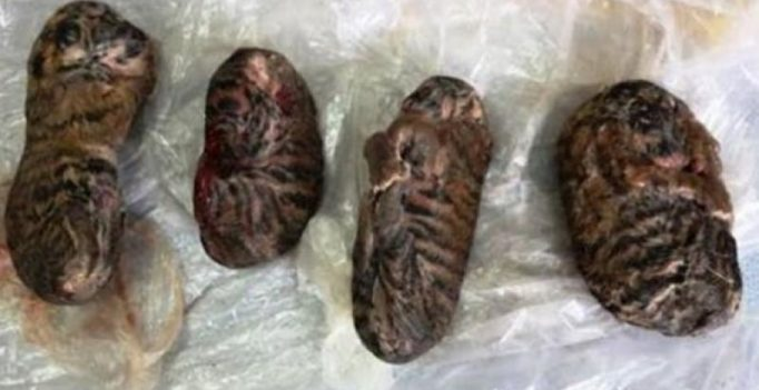 Wildlife trafficker caught with frozen tiger cubs, arrested