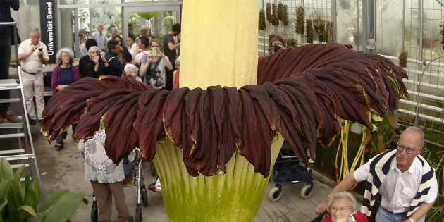 World's Largest Flower, That Smells Like Rotten Flesh, Is Blooming In Kerala After 9 Years