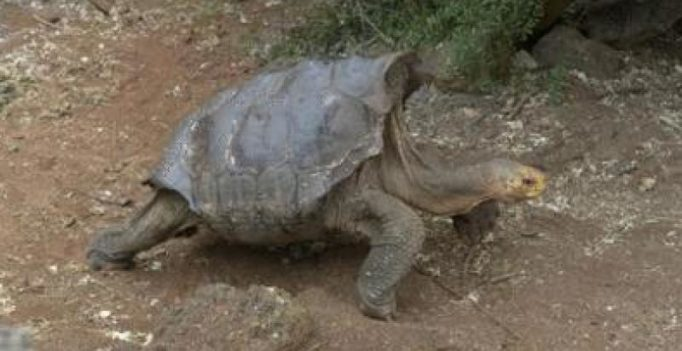 This 100-year-old tortoise is single handedly saving a species through his sexploits