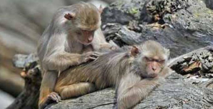 Himachal Pradesh increases incentive for killing monkeys
