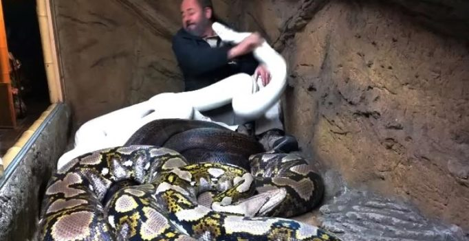 Video: Man jumps in a cage full of pythons, what happened next is shocking