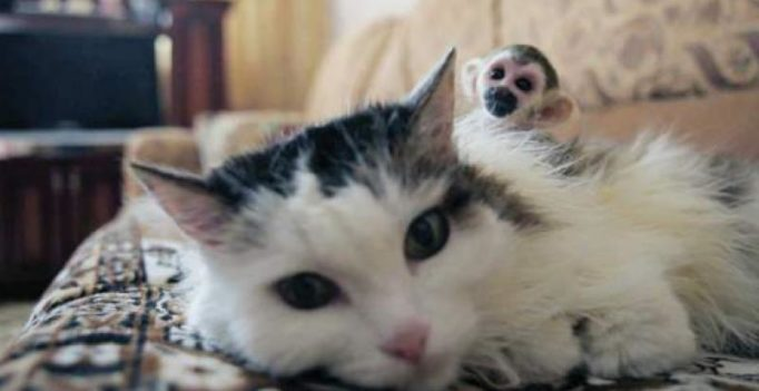 Russian cat adopts abandoned baby squirrel monkey from zoo
