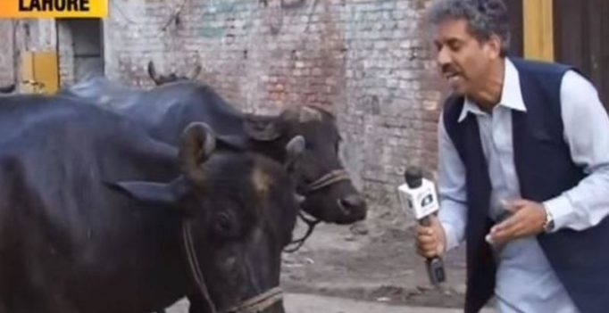 Watch: Pakistan journalist interviews buffalo, video goes viral