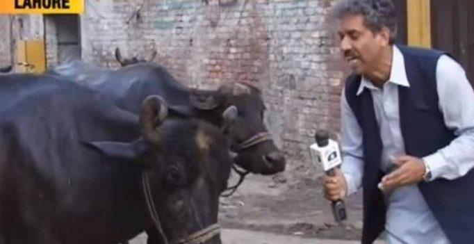 Watch: Pakistan journalist interviews buffalo, video goes viral