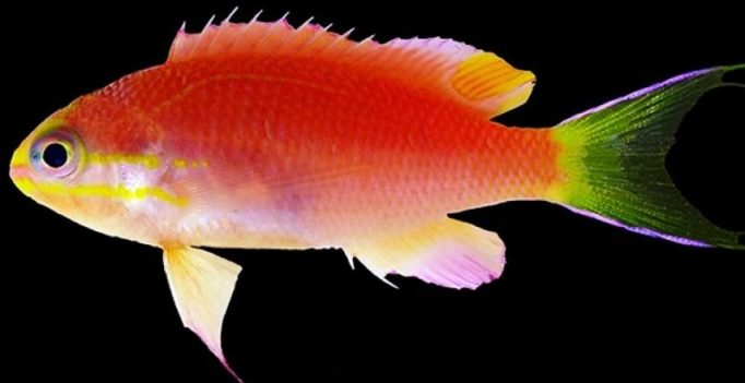 Video: This new fish discovered near Hawaii will be named after Barack Obama