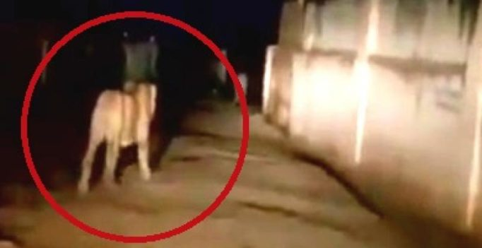 Video: Lions spotted roaming around in area inhabited by humans in Junagadh