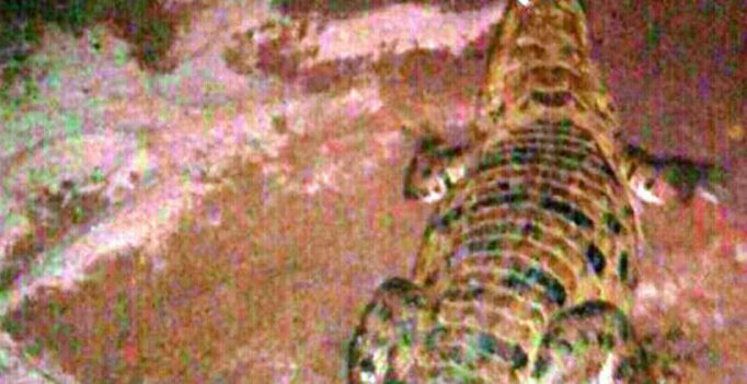 150 cm crocodile rescued from irrigation canal in East Godavari