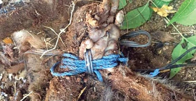CMC medicos kill female monkey brutally with hands, neck tied in telephone wire