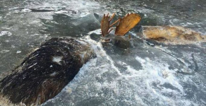 Two moose found frozen mid-fight near Alaskan village