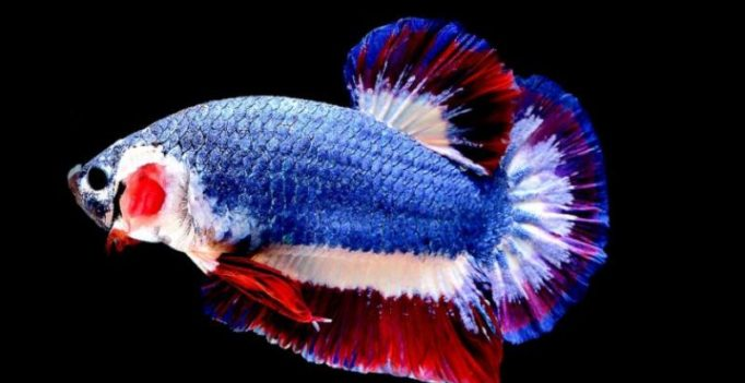 Tiny Thai fish with patriotic colours priced at Rs 1 lakh