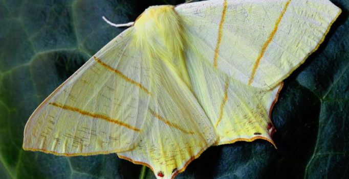 New moth with 'yellowish scales' on head named after Donald Trump