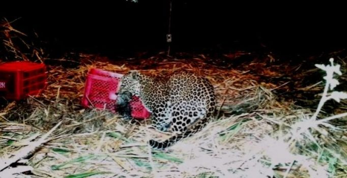 Video: Heart-warming reunion of leopard with her cubs goes viral