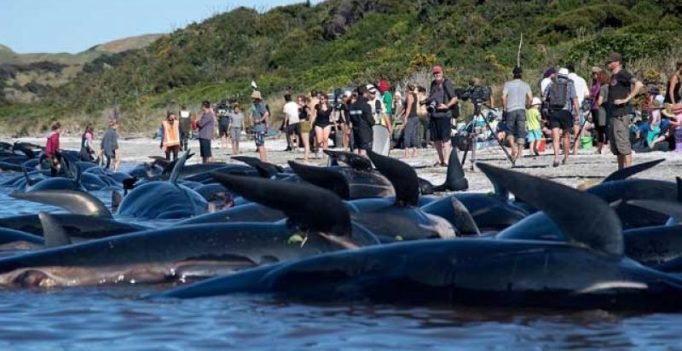 As 300 whales swim away, hope that New Zealand's crisis may be over