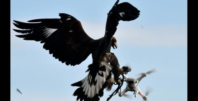 French army grooms eagles to down unmanned drones in mid-flight