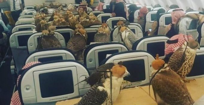 Saudi prince buys aeroplane seats to transport 80 falcons