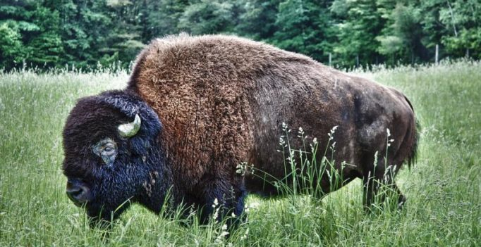 Couple keeps a buffalo as pet, gives him his own room in the house