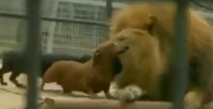 Video: Fearless sausage dogs bravely playing around with lion