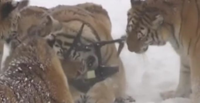 Video: Thrilling footage of tigers taking down a drone goes viral