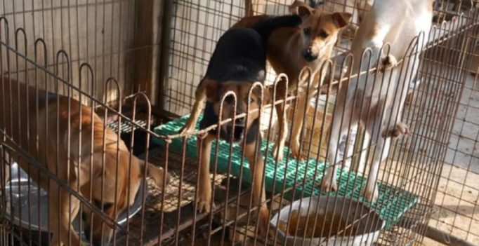 Rescued from slaughter, 46 dogs flown from South Korea to New York