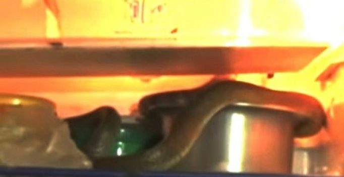 Video: Telangana girl shocked to find king cobra chilling inside fridge