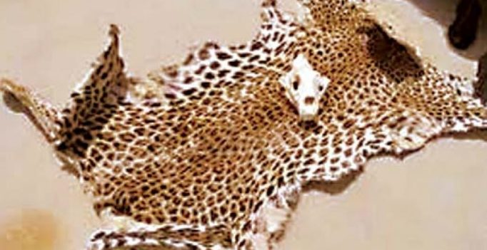 Karnataka: Engineering graduate held with leopard skin