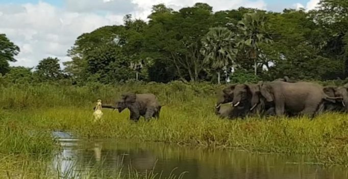 Video: Crocodile catches baby elephant by the trunk, family comes to the rescue