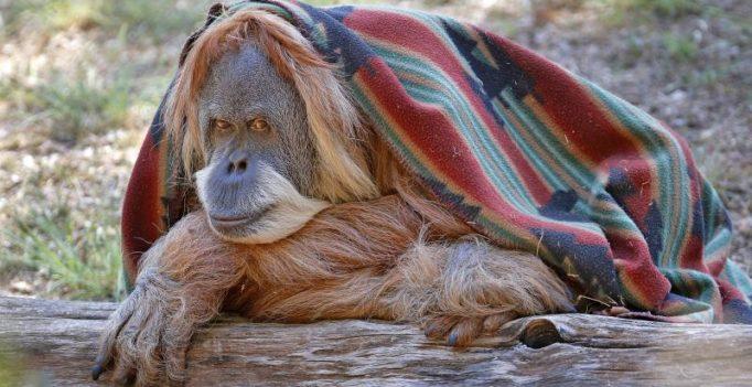 Oklahoma celebrates orangutan's 50th birthday