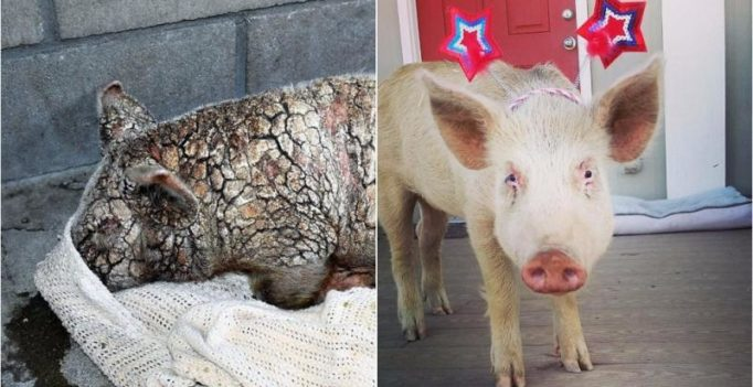 Dying piglet's miraculous transformation will leave you mushy