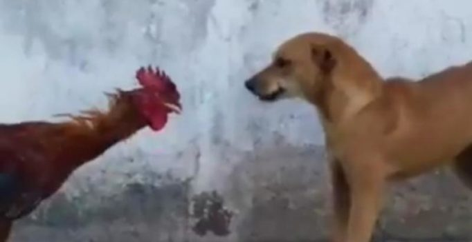 Fighter Cock! This fight between a dog and a rooster ended hilariously