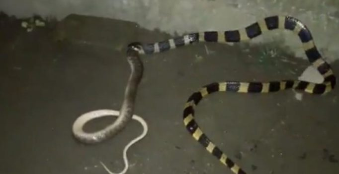 Shocking footage shows snake swallowing another snake