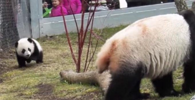Panda-monium! Toronto Zoo releases hilarious footage of falling giant panda cubs
