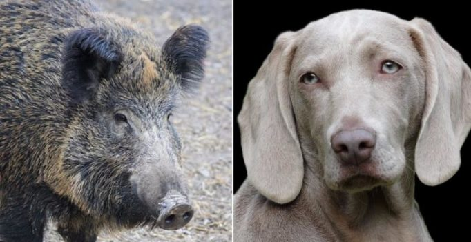 Village in Indonesia pit wild boars against dogs