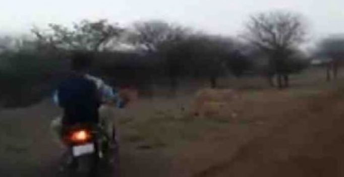 Cruelty against cats: 4 bikers chase lion, lioness in Gujarat's Gir, probe ordered