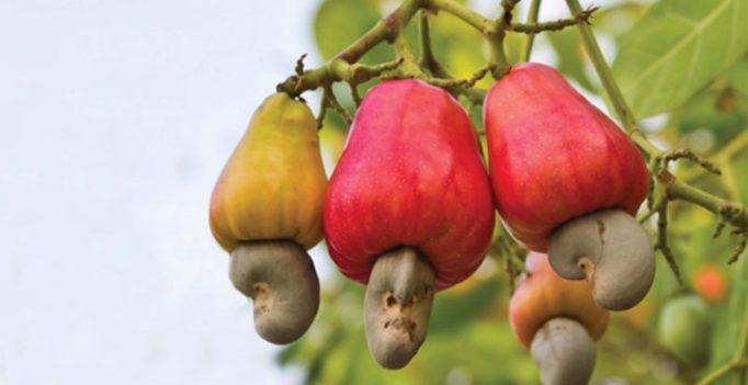 Kollam no more cashew capital