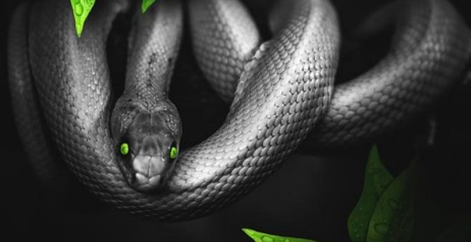 Snake massage, are you brave enough to try it?
