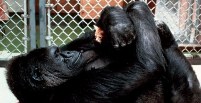 Farewell Koko: Gorilla who proved animals can talk to us, no more