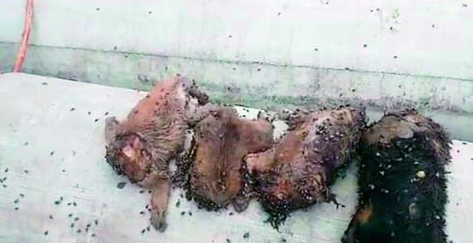 Hyderabad: Drunk man beheads 5 puppies for barking at him