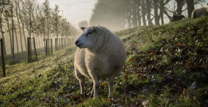 Mystery 'vampire like creature' kills entire flock of sheep, drains bodies of blood